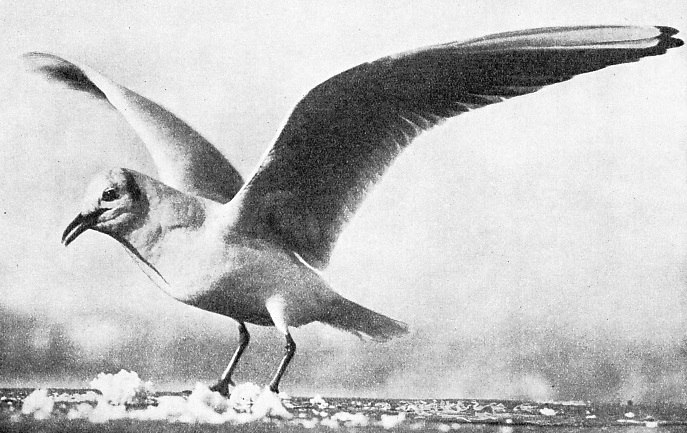 The Downward and Backward Movement of the Wings of a Gull